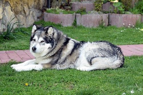 تاریخچه سگ الاسکا مالاموت
