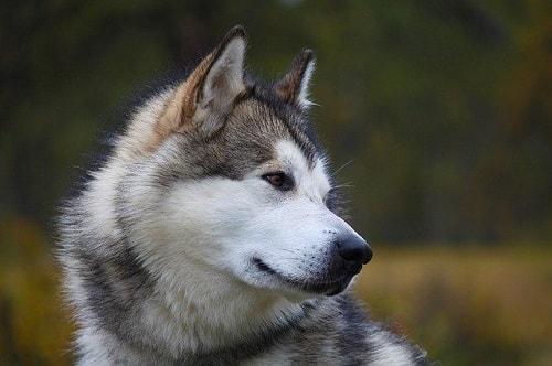 خصوصیات اخلاقی مالاموت های الاسکا