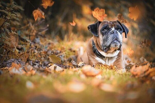 سگ باکسر در فضای باز فصل پاییز