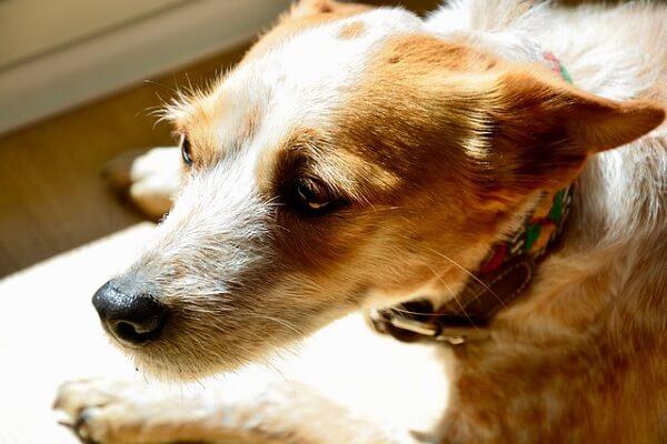 سگ مضطرب و پراسترس