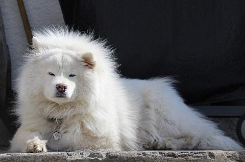 سگ ساموید در حال استراحت