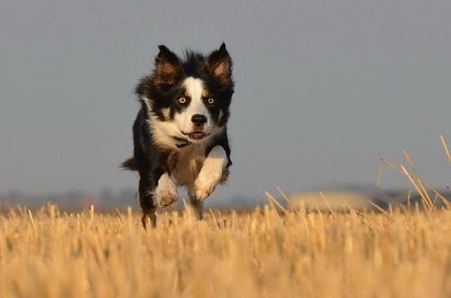 بردرکولی در حال دویدن