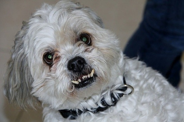 سگ در حال نشان دادن دندان