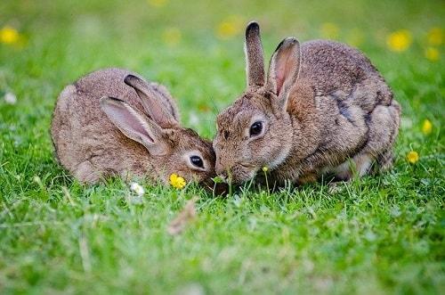 دو تا خرگوش