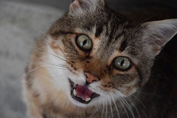 گربه در حال میو میو کردن