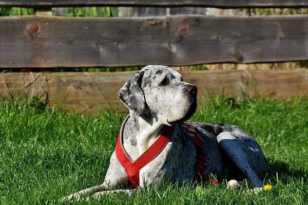 سگ گریت بعد از تمرین و ورزش