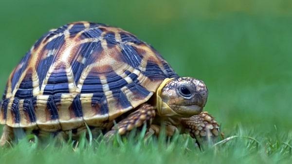 لاکپشت ستارهدار هندی از نیم رخ