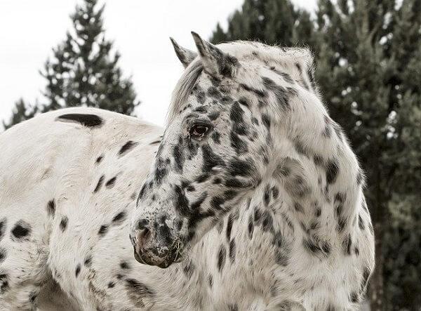 اسب آپالوسا سفید با خال های سیاه
