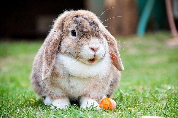 خرگوش بعد از خوردن هویج